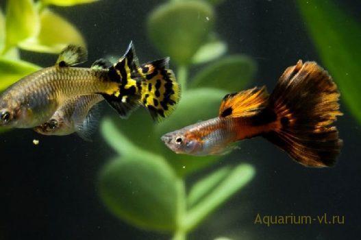 Гуппи самец гоняет беременную самку 15