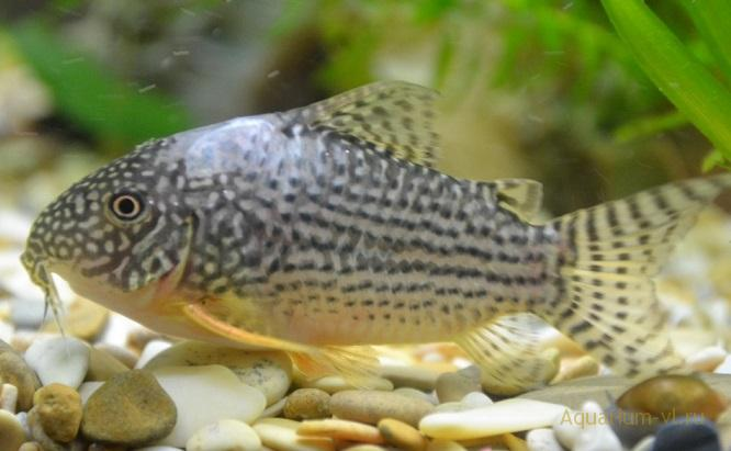 белеет кожа под спинным плавником рыбы