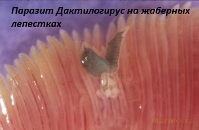 болезнь пресноводных рыб
