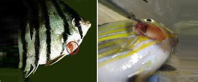 инфекционная болезнь рыб вибриоз