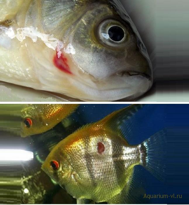 хронический вибриоз рыб