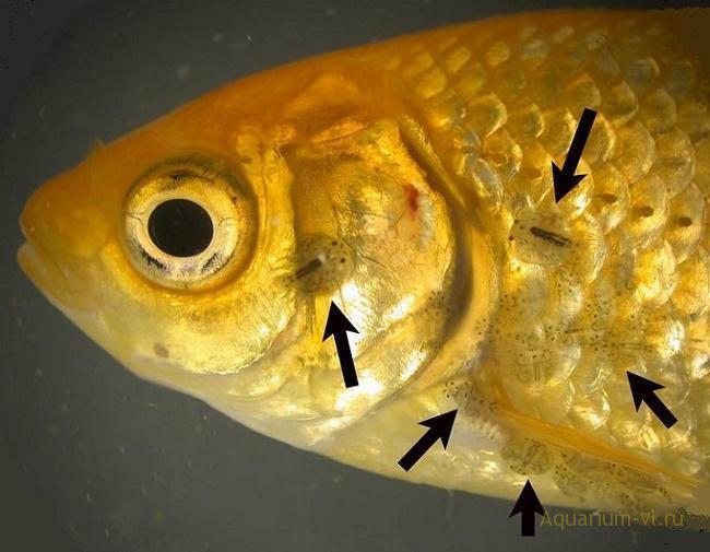 болезнь аргулес пресноводных рыб