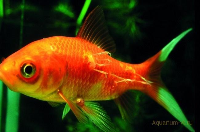 паразитарная болезнь аквариумных рыб