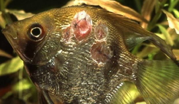 бактериальная болезнь рыбки