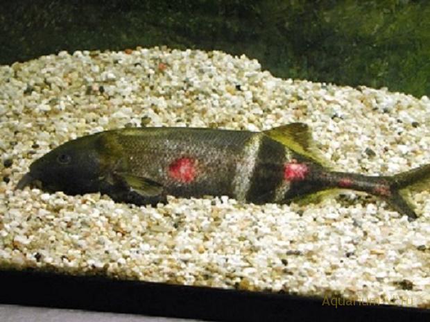 бактериальная болезнь в аквариуме