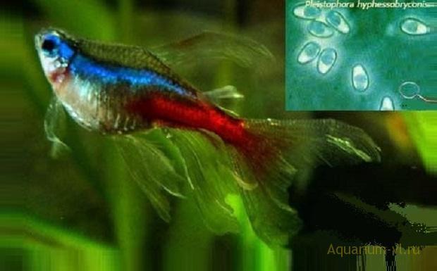 Плистифороз болезнь аквариумных рыб