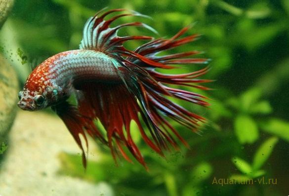 петушок бойцовая рыбка