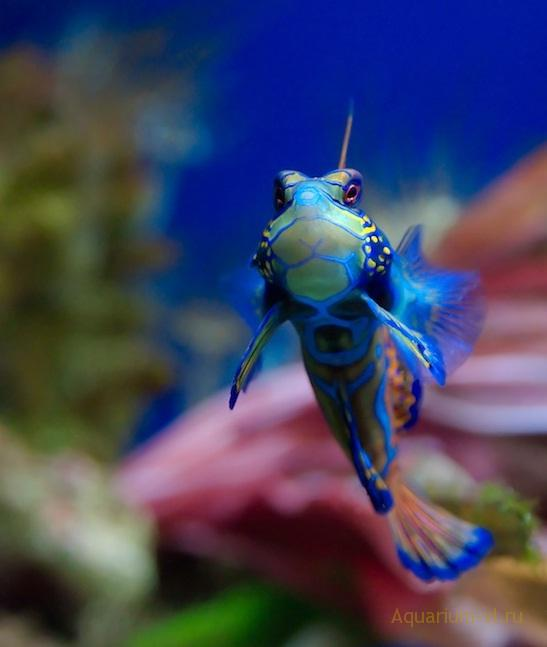 рыбка Мандаринка для аквариума