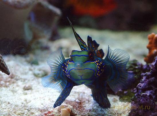 морская рыбка мандаринка