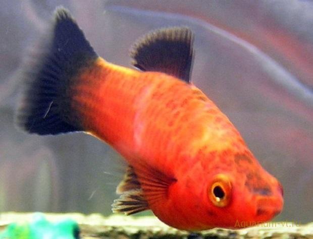 Апиозомоз заболевание у рыб