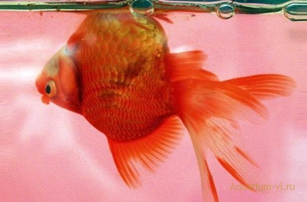 Заболевания плавательного пузыря рыб