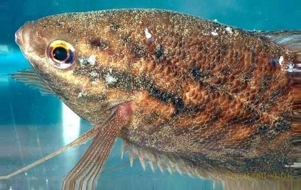 Оодиниоз серые «мучнистых» пятна на рыбке