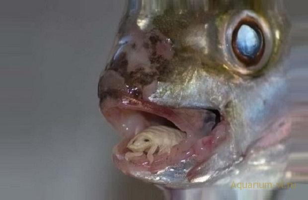 Инфекционные заболевания рыб