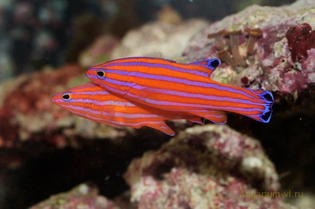 рыбка Candy Вasslets