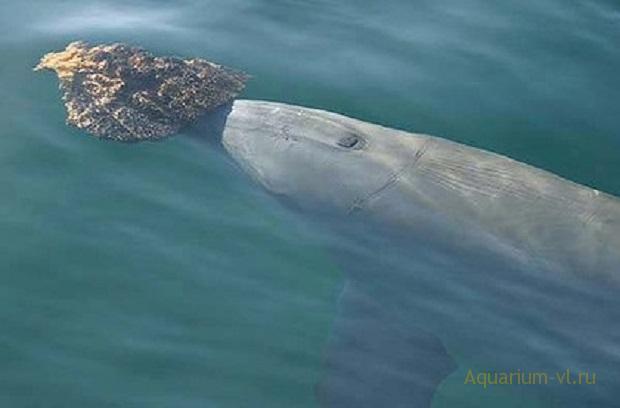 дельфин с губкой