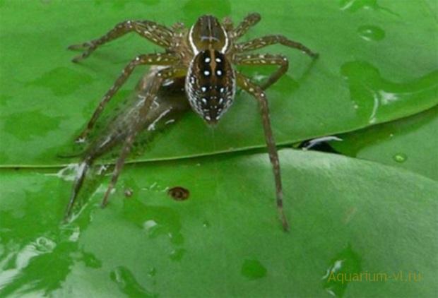 пауки-охотники