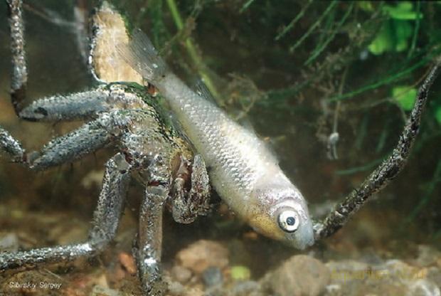 паук рыболов