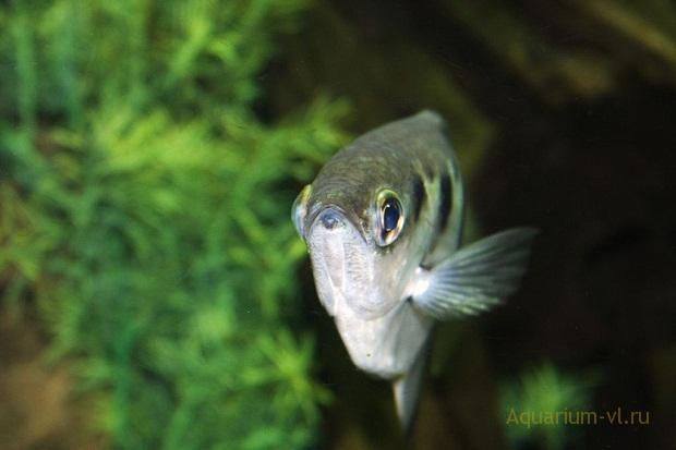 брызгун рыбка