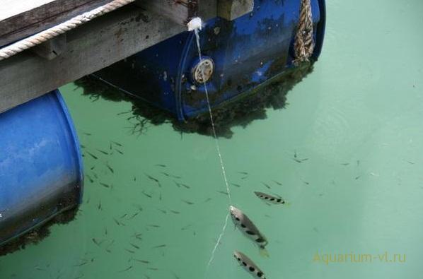 брызгун рыбка охотник
