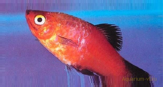 Флексибактериоз болезнь рыб