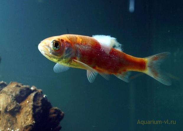 На стадии болезни рыбы сжимают плавники