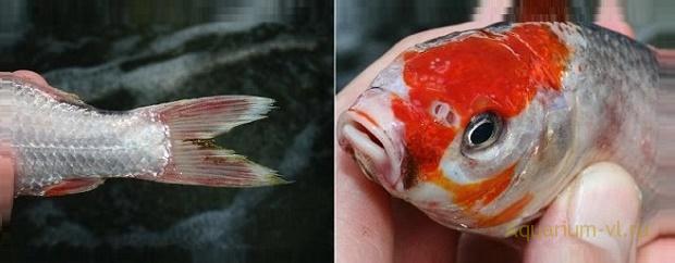 Заразное заболевание рыб Колумнариоз