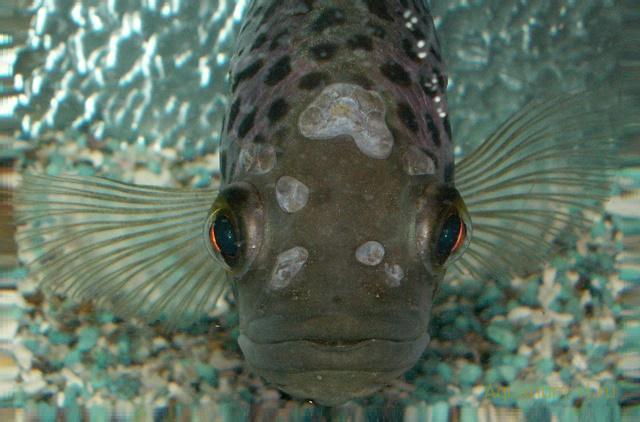 болезнь рыб октомитоз