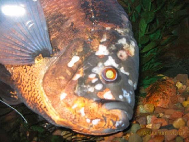 спиронуклеоз болезнь рыб