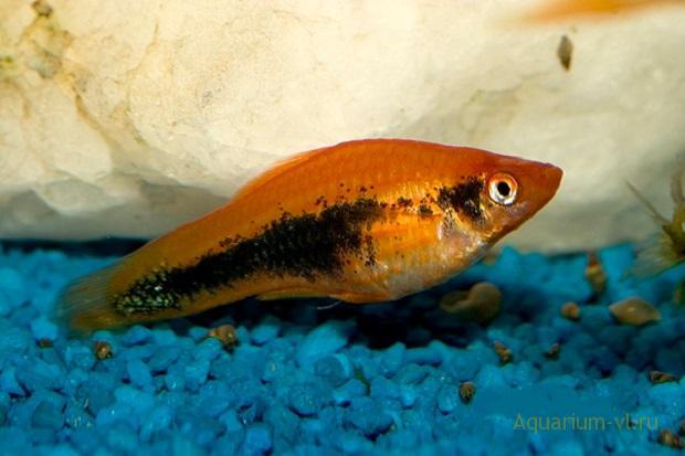 Хилодонеллёз инфекционная болезнь рыб