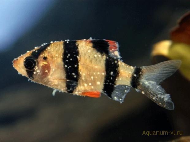 ихтиофтириоз болезнь аквариумных рыб