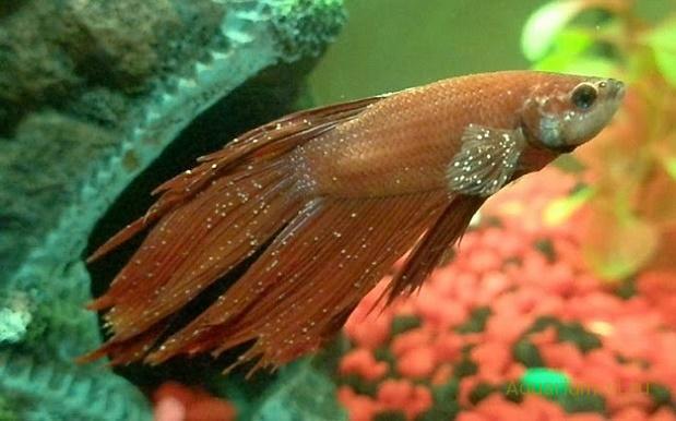 «манка» болезнь у рыбки