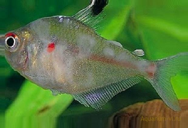 Костиоз инвазионная болезнь рыб