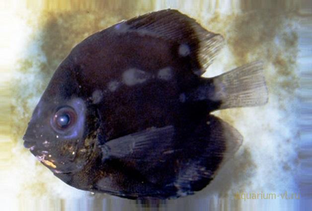 ихтиободоз болезнь рыбок