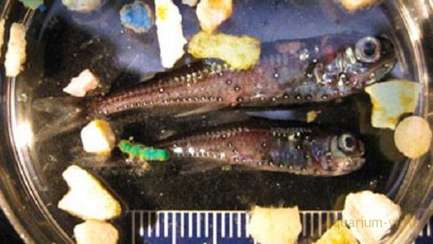 рыбы поедают мусор