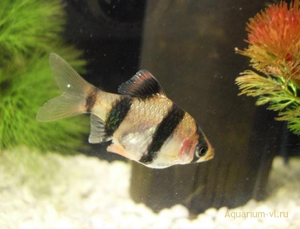 Ожирение органов рыб