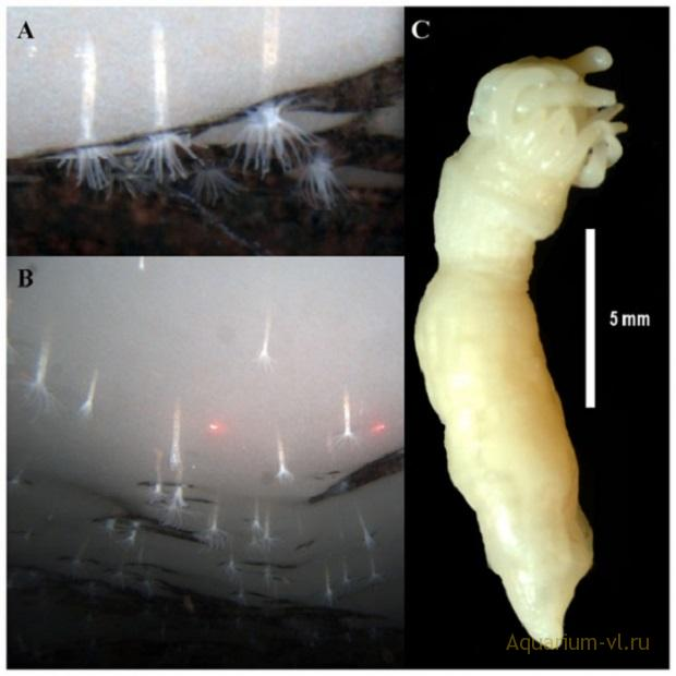 актиния Edwardsiella andrillae