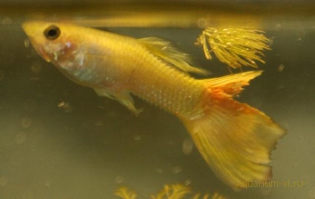 болезнь рыб вызывает бактерия Pseudomonas