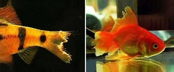 плавниковая гниль аквариумных рыб