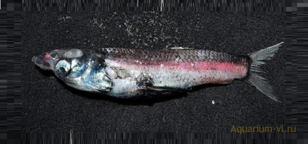 рыба называется стеклянноголовый опистопрокт