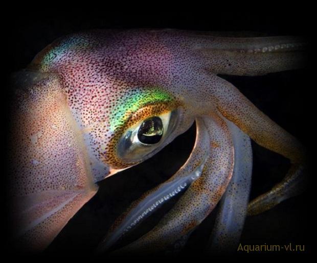 каракатицевидные кальмары