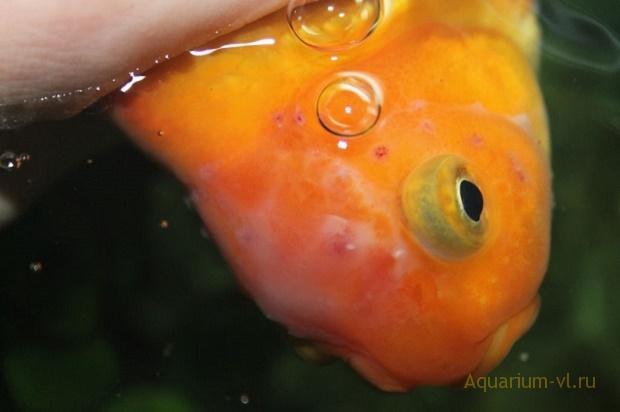 болезнь рыб, инфузория Trichodina
