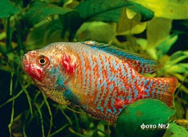инфекционная болезнь рыб