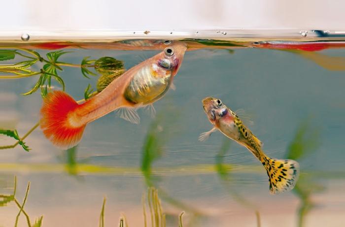 Живут ли золотые рыбки с гуппи