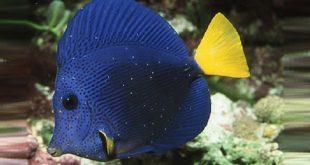 Морской ихтиофтириоз у аквариумных рыб