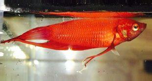 инфекционное заболевание рыб