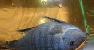 болезнь аквариумных цихлид