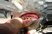 болезнь прудовых рыб