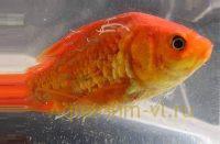 Лернеоз на золотой рыбке