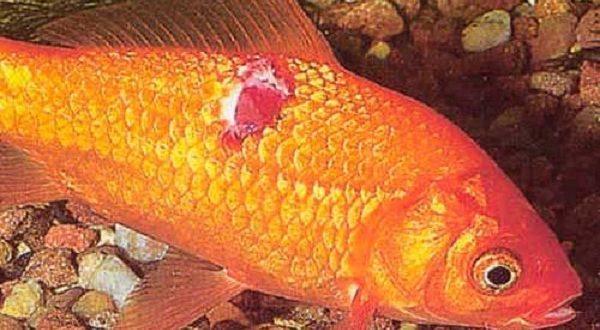 Золотая рыбка с язвенной болезнью