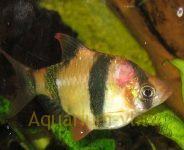 фото болезней аквариумных рыб